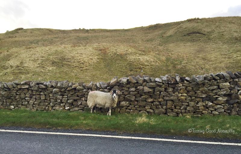 Tasting Good Naturally : Voyage végane en Angleterre - Un mouton dans le Yorkshire - Avril 2016